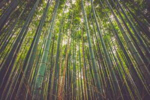 Bambusblättertee Teesorte nicht nur für Pandas