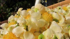 Kekecha mit Teeblüten bei Teesorte