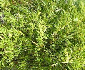 Weißer Tee Exotischer Bambus - Teesorte