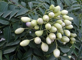 Weißer Tee Himalaya bei Teesorte