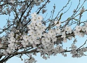 Weißer Tee Japanische Kirschblüte bei Teesorte