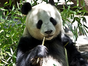 Weißer Tee Panda Bär bei Teesorte