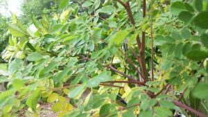 Was ist Moringa Tee -  bei Teesorte