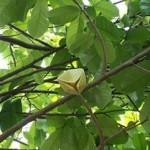 Graviola Tee Lemon