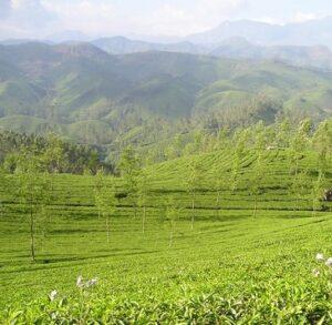 Schwarztee Assam Margherita