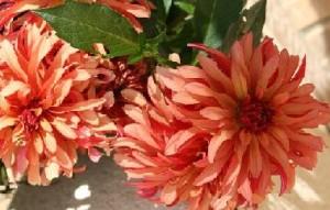 Grüntee Sencha Feuerblume bei Teesorte