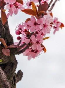 Grüntee Sencha Kirschblüte Jasmin bei Teesorte