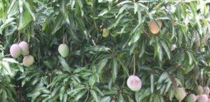 Früchtetee Acai Mango Zinger bei Teesorte
