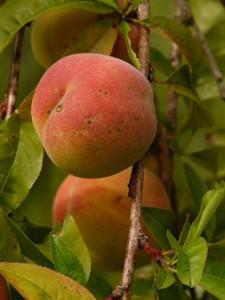 Oolong Gojibeere Pfirsich bei Teesorte