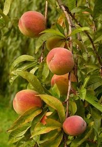 Rotbuschtee Pfirsich bei Teesorte