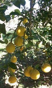 Rotbuschtee Zitrone bei Teesorte