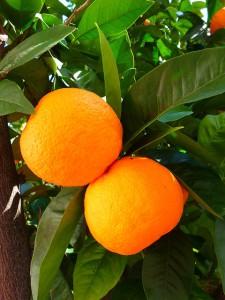 Schwarztee Sternsänger mit Orangen