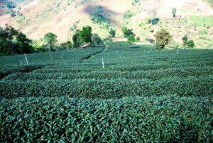 Darjeeling Avongravoe bei Teesorte