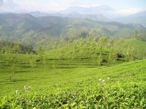 Oolong Nepal Jun Chiyabari bei Teesorte