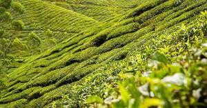 Darjeeling Oolong Velvet Buds Singell bei Teesorte