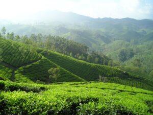 Darjeeling Dooteriah bei Teesorte