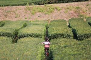 Assam Blattmischung bei Teesorte