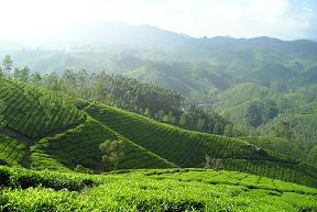 Darjeeling Sungma TGFOP1 first flush bei Teesorte