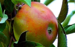 Früchtetee Apfel Minzbär teesrote früchtemischung