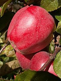 Rotbuschtee Henny Apfelstrudel bei Teesorte