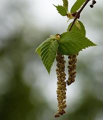 Birkenblätteteer bei Teesorte