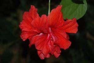 Zarte Hibiskusblüte bei Teesorte