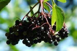 Oolong Beerenhexe bei Teesorten