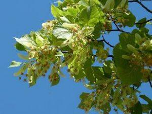 Lindenbluetentee bei Teesorte