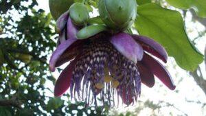 Oolong Blume Asiens bei Teesorte