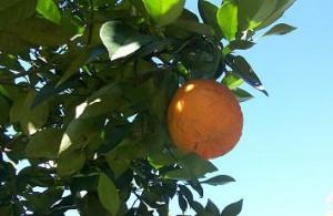 Orangen Muscheln mit Nudeln bei Teesorte