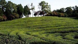 Oolong Shuixian Dancong Milanxiang bei Teesorte