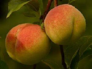 Honeybush Pfirsich Aprikose bei Teesorte