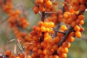 Oolong Sanddorn Orange bei Teesorte
