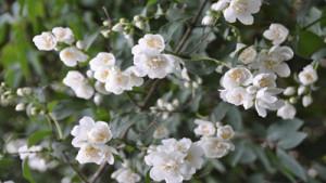 Zarte Jasminblüten bei Teesorte