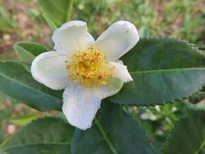 Assam Jutlibari teesorte_tee