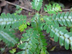 Chanca Piedratee Pflanze bei Teesorte