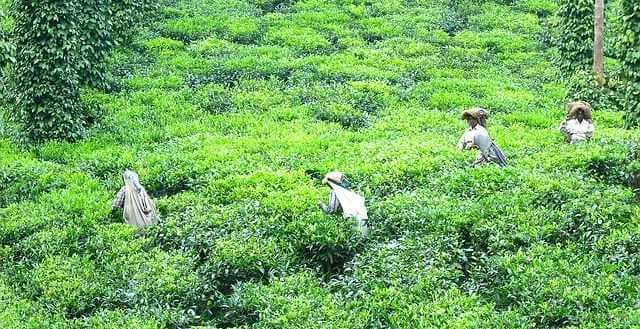 Assam Nudwa TGFOP1 SF im Teelexikon