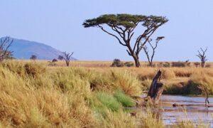 Schwarztee Golden Kenya Milima GFOP Teesorte