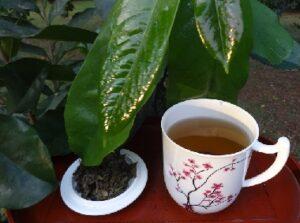 Graviola Erfahrungen oder Stachelannone Erfahrungen bei Teesorte
