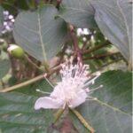Guaven Blättertee Teesorte mit Blüte
