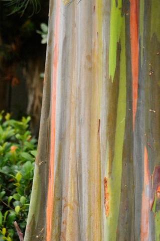 regenbogeneukalyptus Eukalyptus blätter
