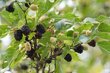 Maulbeer Blätter sanft im Geschmack